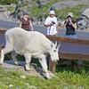 034 Mountain Goat_8652