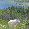 026 Hidden Lake Goat_1404