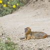 062 Columbian Ground Squirrel_8474