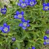 157 Piegan Pass Trail Flowers_1199