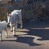035 Mountain Goats_0129