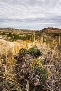 Prickly Pear Cactus in the Painted Canyon of Theodore Roosevelt National Park