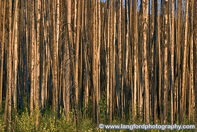 The early morning sun lit up these fire damaged tree trunks.  The West side of glacier has many scars from recent forest fires.
