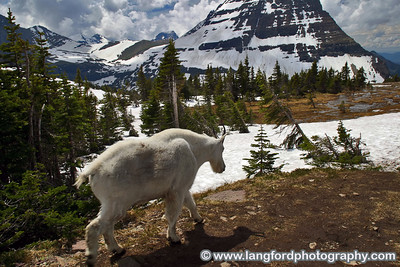 A mountain goat along the Hidden Lake Trail.  It is very common to see them along this trail.  He is kind of scruffy because it is the middle of summer.