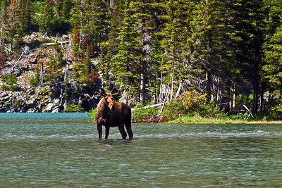 There are many moose that can be seen while on a trip across Lake Josephine.  The tour originates from Swiftcurrent Lake, near the back of Many Glacier lodge.