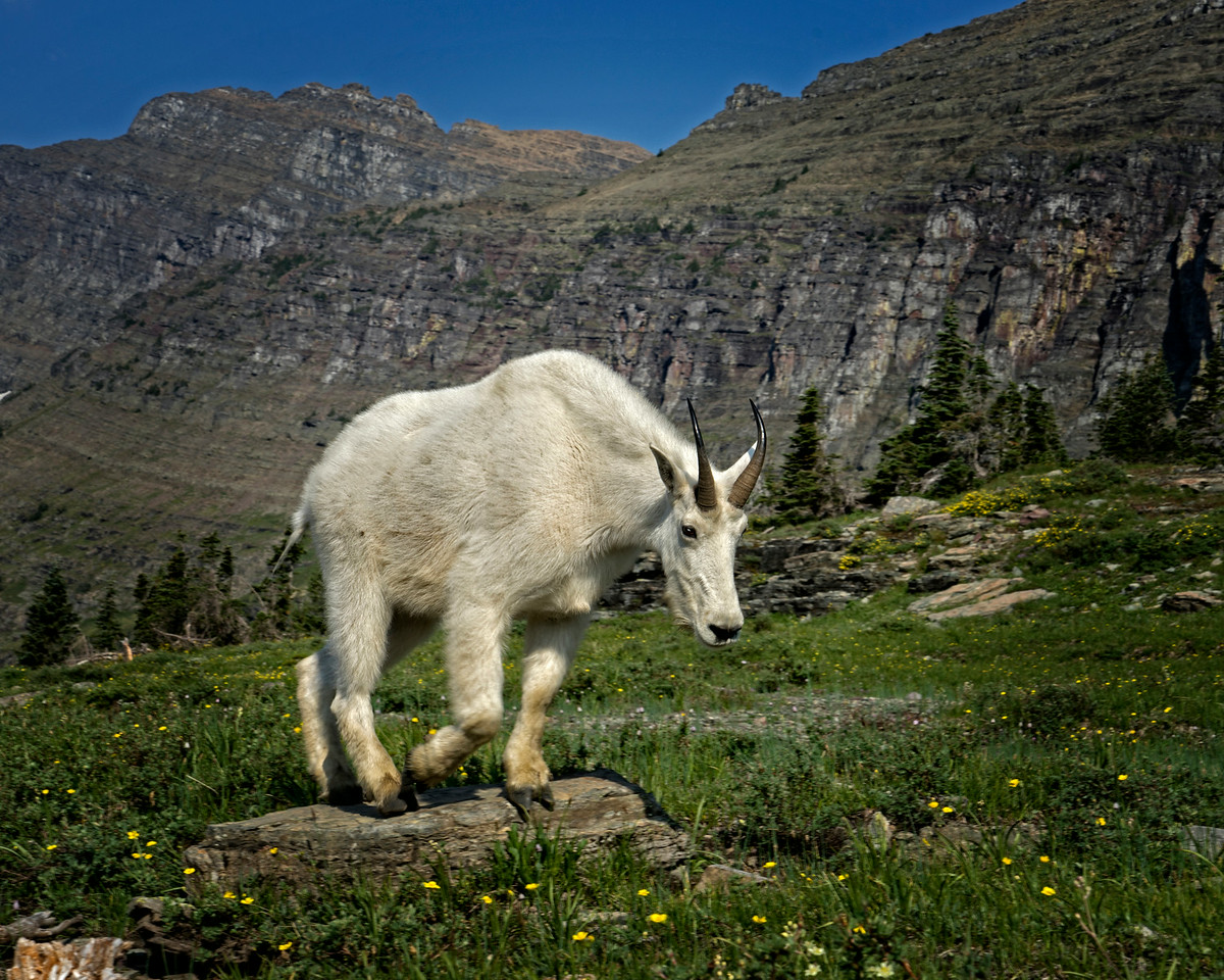 Mountain Goat on the Hidden Lake Trail