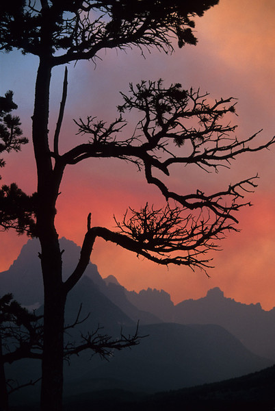 Silhouetted Pine - Glacier National Park, Montana - John Hewitt - July 2003
