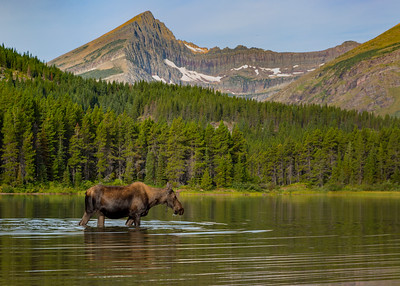 Moose Feeding in Fishercap Lake