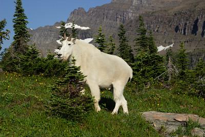 Logan's Pass Mountain Goat
