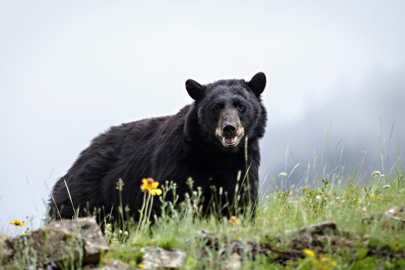 Black Bear Showing Some Tooth - Glacier National Park, Montana - Renant Cheng - July 2012