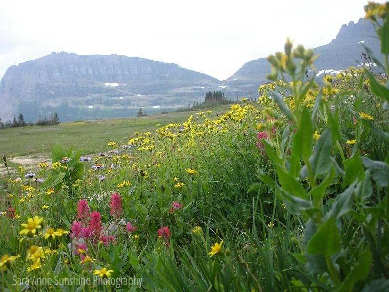 0809 Glacier Wildflowers