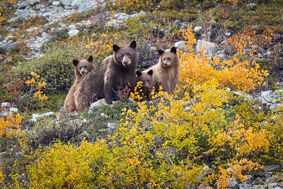Bear Family Portrait