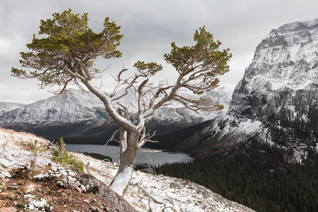 Tree Above Two Medicine lake