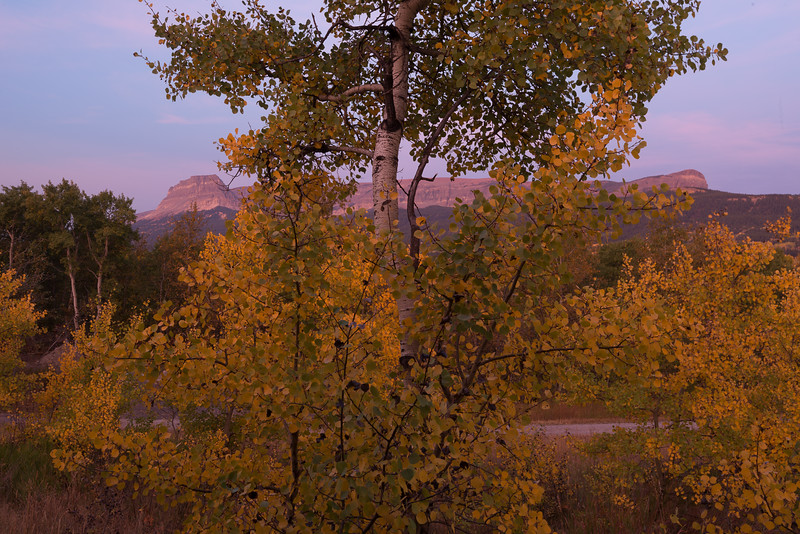 Aspen at sunrise near Glacier National Park