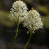 Beargrass blooms