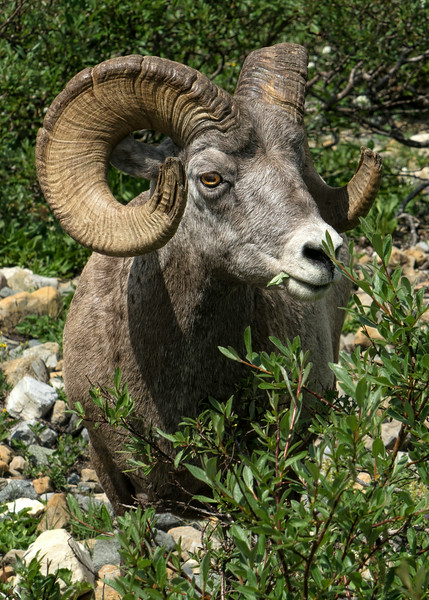 Big Horn Sheep in Glacier Park
