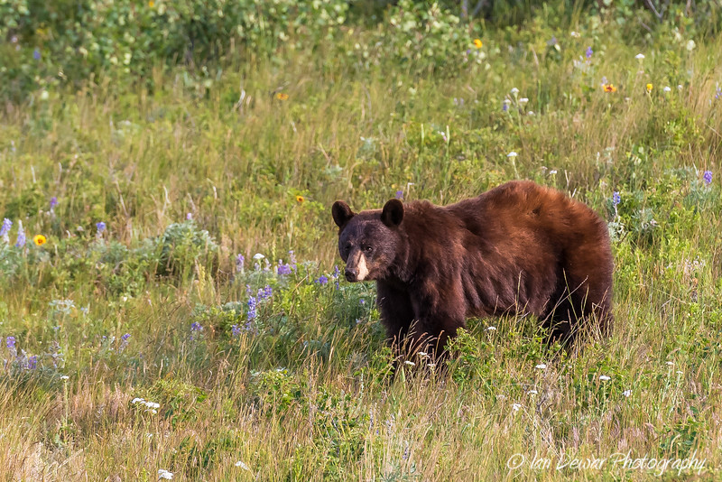 Cinnamon Bear in Waterton Lakes
