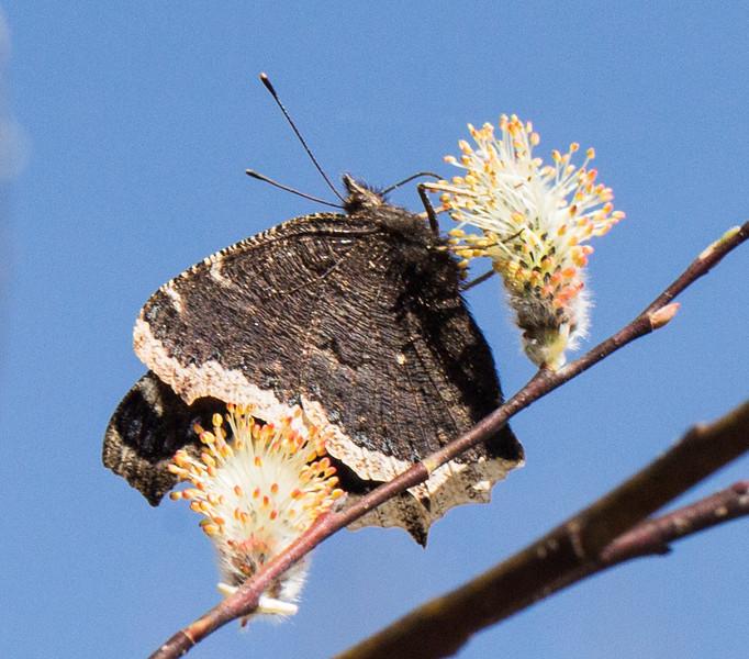 willow pollinators