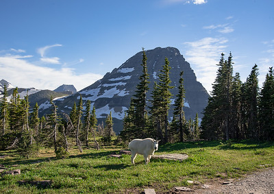 A robust billy looks on as we hikers make our way toward Hidden Lake in Glacier National Park.