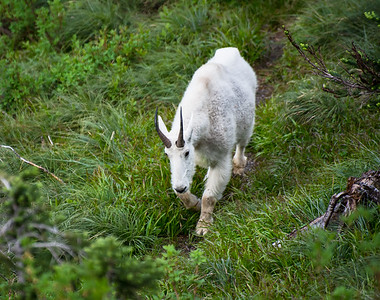 Goat watching in Glacier National Park near Logan Pass