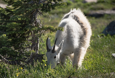 A mountain goat grazes near the trail to Hidden Lake in Glacier National Park as golden hour sweeps along the landscape, making way for sunset