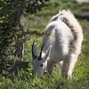 A mountain goat grazes near the trail to Hidden Lake in Glacier National Park