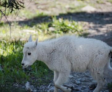 Goat crossing
