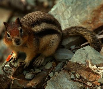 Golden Mantle Squirrel 001