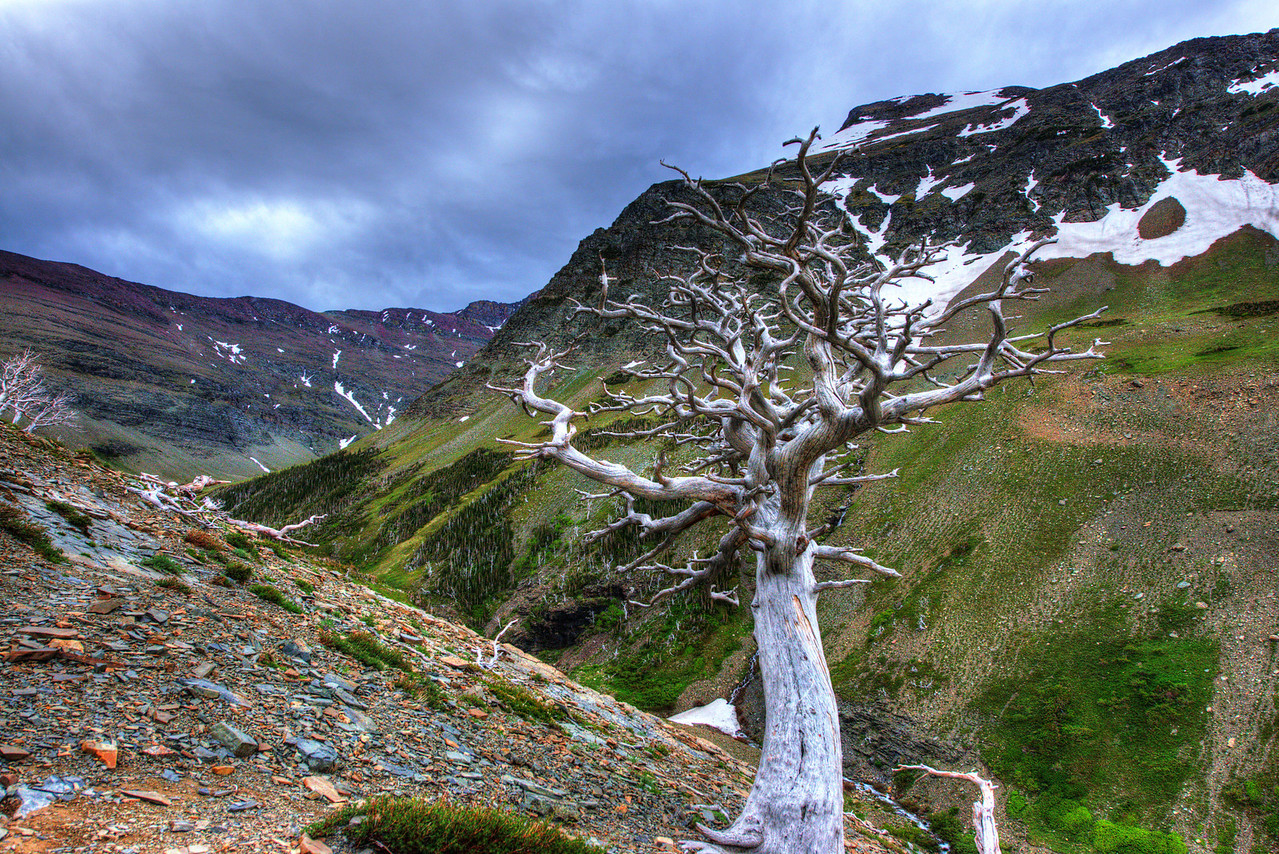 Graveyard of Dead Trees on Mount Henry in Glacier National Park, Montana.  Hiking up over 2000 feet to Scenic Point from the trailhead in the Two Medicine area.