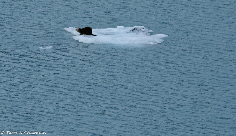 Sea Otter on a floating iceberg in College Fjord