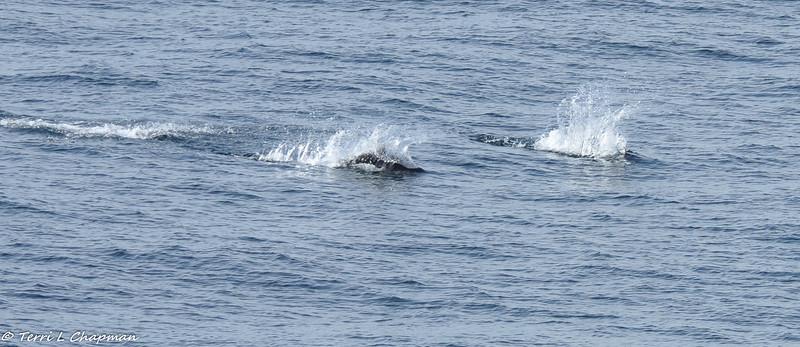 Dall's porpoises speeding through the ocean!