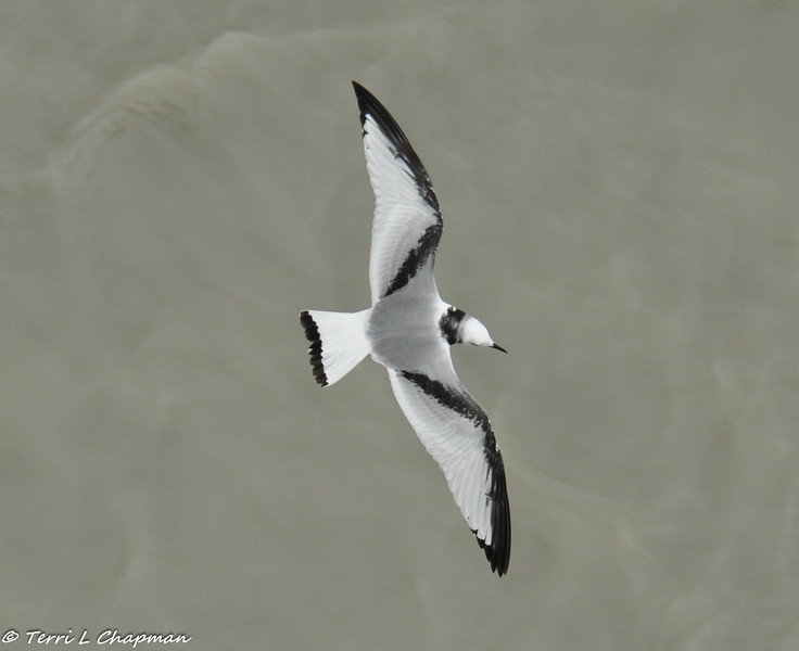 """A Black-legged Kittiwake (juvenile). These birds are considered """"gulls"""" and were flying around our cruise ship while in Glacier Bay. Kittiwakes have sharper claws than other gulls to give them a better grip on cliff ledges where these birds build their nests. They winter at sea and are rarely seen far from the ocean."""