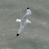 A Black-legged Kittiwake (adult).