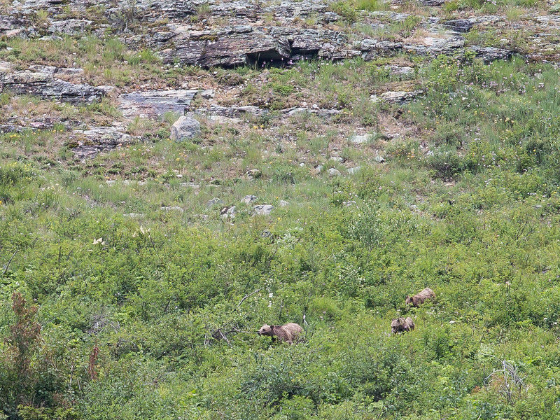 Grizzly Mom and two cubs on Avalanche Trail.