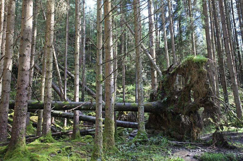 Glenbarrow fallen tree