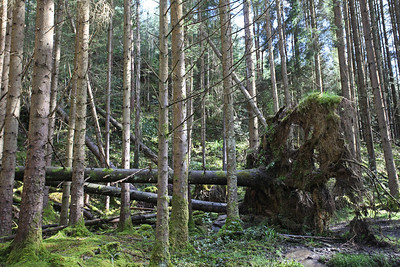 Glenbarrow fallen tree