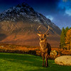 Red Deer in glencoe, with the dramatic view of the mountains in the background.