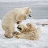 Joaquin Espejo  Polar Bears Sparring