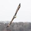 Mike McCool   Eagle in Flight