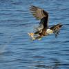 Paul Riewerts_Feeding Eagle