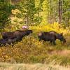 John Grossman Moose Family 1
