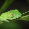 Joaquin Espejo  Sleeping Baby Red Eye Tree Frog