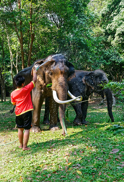 Mahouts bring their elephants from neighboring Surin Province to take part in the Lamduan Festival's festivities.