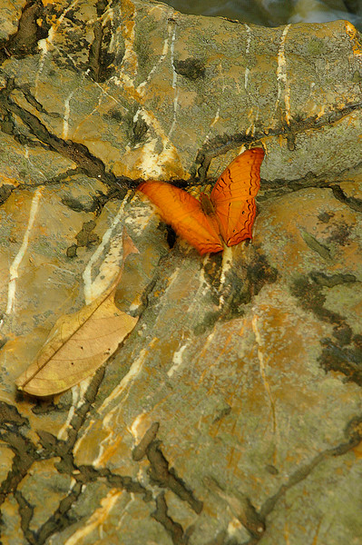 Common yeoman butterfly <i>(Cirrochroa tyche),</i> a visitor to the falls