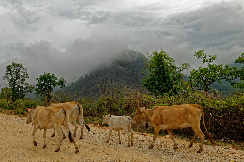 Cattle being herded along a dirt road, Mae Hong Son Province