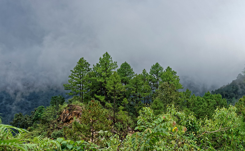 Conifers among the clouds at Rakjang Viewpoint, Chiang Mai Province