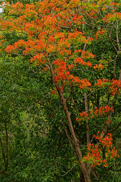 Royal Poinciana in Ob Luang national park