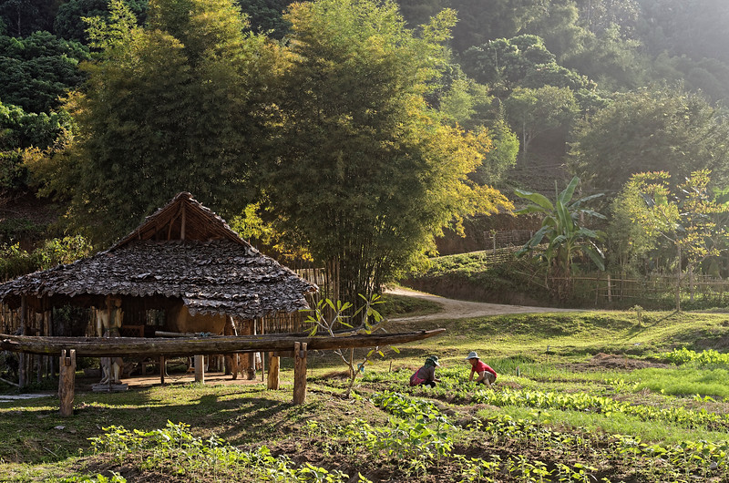 Tending to crops in late-afternoon sun, Mae Sa Valley
