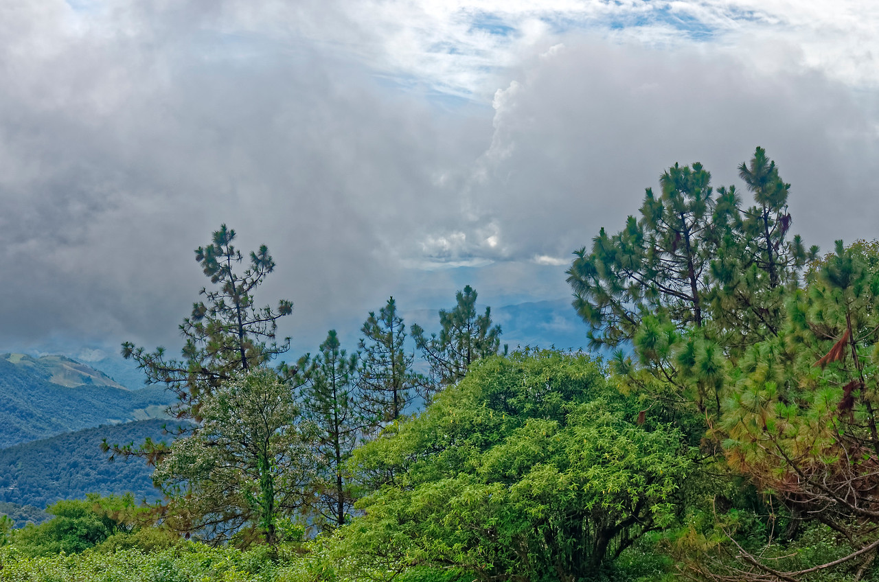 Conifers, Doi Inthanon