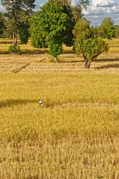 Rice harvester, lower Isaan